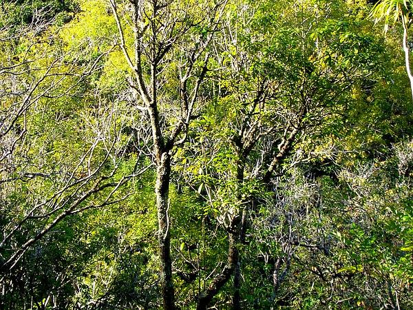 Yellowwood (Ochrosia) https://www.sagebud.com/yellowwood-ochrosia