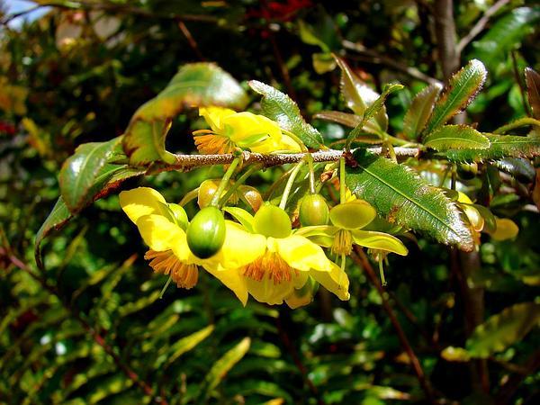 Mickey Mouse Plant (Ochna Serrulata) https://www.sagebud.com/mickey-mouse-plant-ochna-serrulata