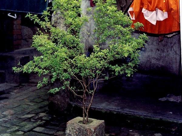 Holy Basil (Ocimum Tenuiflorum) https://www.sagebud.com/holy-basil-ocimum-tenuiflorum/