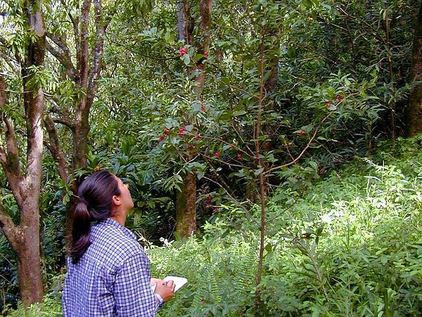 Thomas' Bird's-Eye Bush (Ochna Thomasiana) https://www.sagebud.com/thomas-birds-eye-bush-ochna-thomasiana