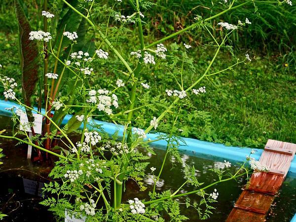 Fineleaf Waterdropwort (Oenanthe Aquatica) https://www.sagebud.com/fineleaf-waterdropwort-oenanthe-aquatica