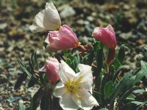 California Evening Primrose