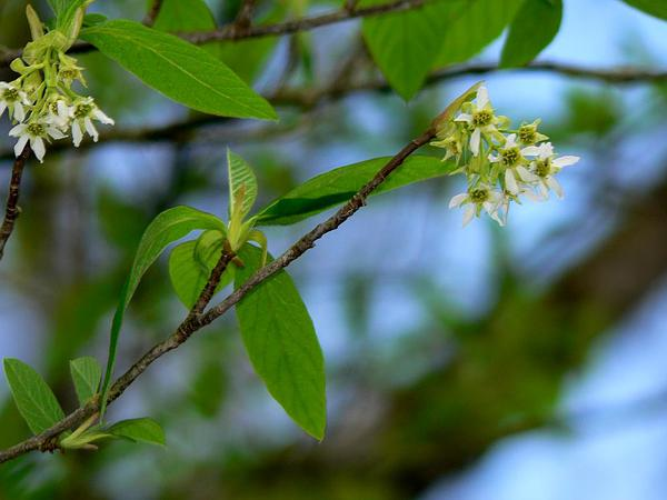 Indian Plum (Oemleria Cerasiformis) https://www.sagebud.com/indian-plum-oemleria-cerasiformis/