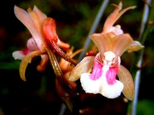 Monk Orchid