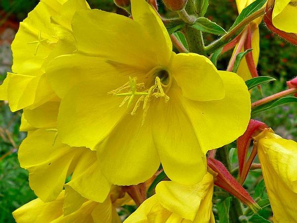 Hooker's Evening Primrose (Oenothera Elata) https://www.sagebud.com/hookers-evening-primrose-oenothera-elata