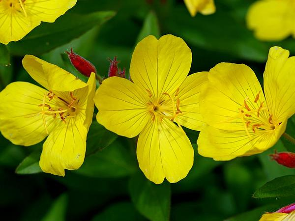 Narrowleaf Evening Primrose (Oenothera Fruticosa) https://www.sagebud.com/narrowleaf-evening-primrose-oenothera-fruticosa
