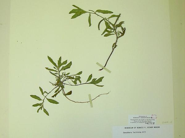 Cutleaf Evening Primrose (Oenothera Laciniata) https://www.sagebud.com/cutleaf-evening-primrose-oenothera-laciniata