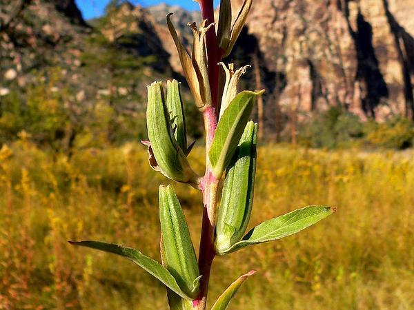 Longstem Evening Primrose (Oenothera Longissima) https://www.sagebud.com/longstem-evening-primrose-oenothera-longissima