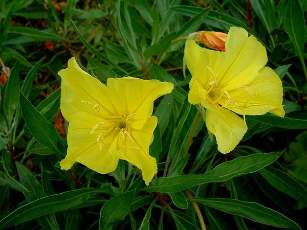 Bigfruit Evening Primrose (Oenothera Macrocarpa) https://www.sagebud.com/bigfruit-evening-primrose-oenothera-macrocarpa