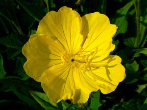 Bigfruit Evening Primrose