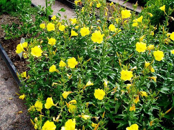 Evening Primrose (Oenothera) https://www.sagebud.com/evening-primrose-oenothera/