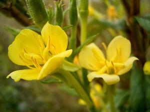 Northern Evening Primrose