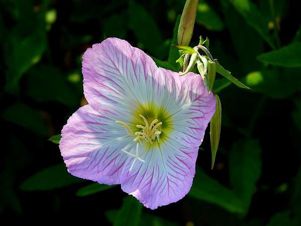 Pinkladies (Oenothera Speciosa) https://www.sagebud.com/pinkladies-oenothera-speciosa
