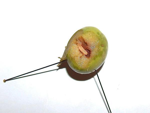 Olive (Olea) https://www.sagebud.com/olive-olea/