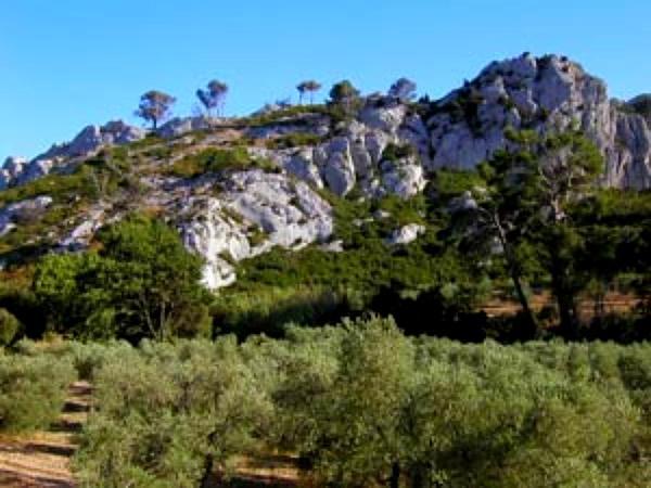 Olive (Olea Europaea) https://www.sagebud.com/olive-olea-europaea/