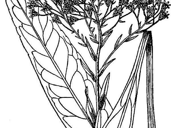 Goldenrod (Oligoneuron) https://www.sagebud.com/goldenrod-oligoneuron