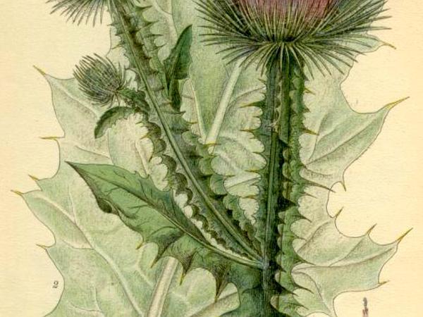 Scotch Cottonthistle (Onopordum Acanthium) https://www.sagebud.com/scotch-cottonthistle-onopordum-acanthium