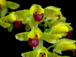 Dancing-Lady Orchid