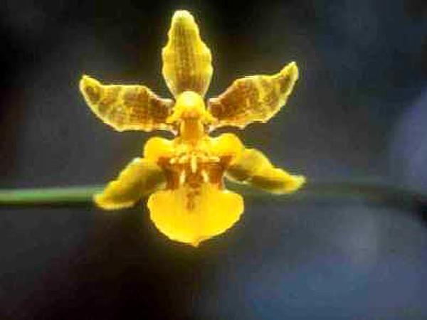 Dancing-Lady Orchid (Oncidium) https://www.sagebud.com/dancing-lady-orchid-oncidium