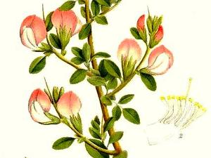 Common Restharrow