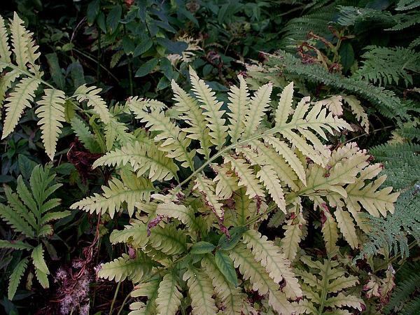 Sensitive Fern (Onoclea Sensibilis) https://www.sagebud.com/sensitive-fern-onoclea-sensibilis