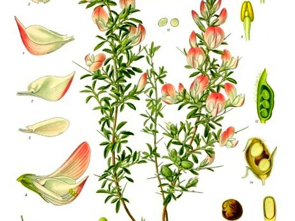 Spiny Restharrow (Ononis Spinosa) https://www.sagebud.com/spiny-restharrow-ononis-spinosa