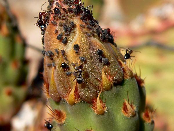 Beavertail Pricklypear (Opuntia Basilaris) https://www.sagebud.com/beavertail-pricklypear-opuntia-basilaris