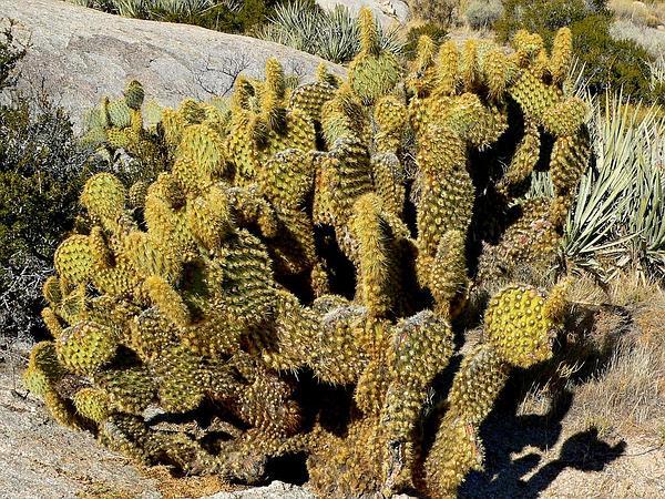 Dollarjoint Pricklypear (Opuntia Chlorotica) https://www.sagebud.com/dollarjoint-pricklypear-opuntia-chlorotica