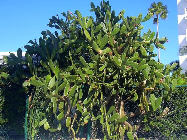 Cochineal Nopal Cactus (Opuntia Cochenillifera) https://www.sagebud.com/cochineal-nopal-cactus-opuntia-cochenillifera