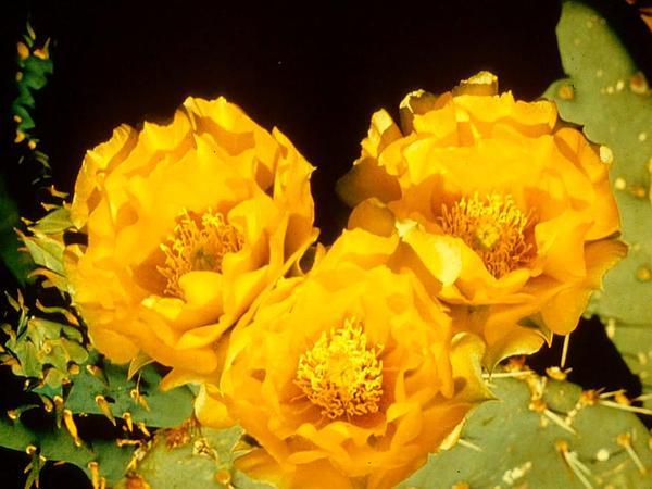 Cactus Apple (Opuntia Engelmannii) https://www.sagebud.com/cactus-apple-opuntia-engelmannii