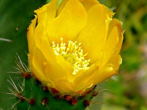 Barbary Fig (Opuntia Ficus-Indica) https://www.sagebud.com/barbary-fig-opuntia-ficus-indica