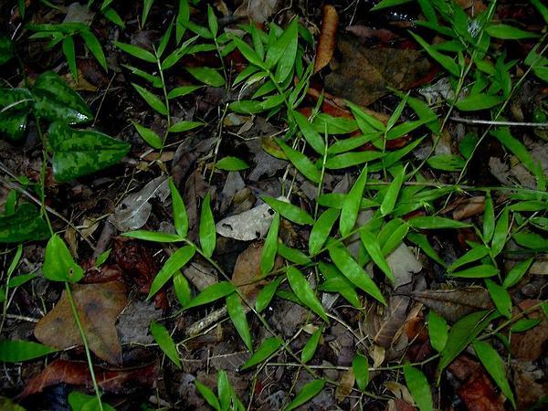 Basketgrass (Oplismenus Hirtellus) https://www.sagebud.com/basketgrass-oplismenus-hirtellus