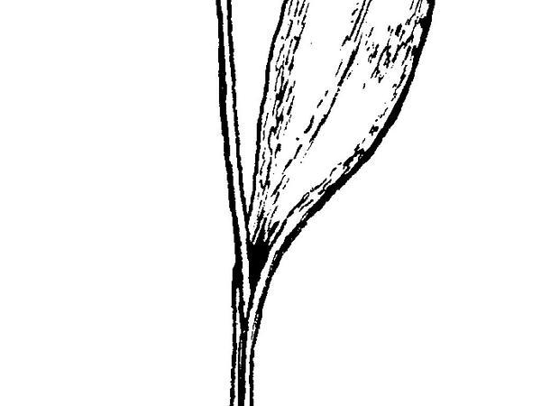 Adderstongue (Ophioglossum) https://www.sagebud.com/adderstongue-ophioglossum