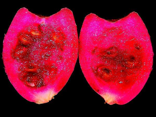 Devil's-Tongue (Opuntia Humifusa) https://www.sagebud.com/devils-tongue-opuntia-humifusa