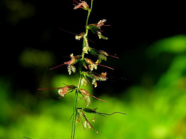 Basketgrass (Oplismenus) https://www.sagebud.com/basketgrass-oplismenus
