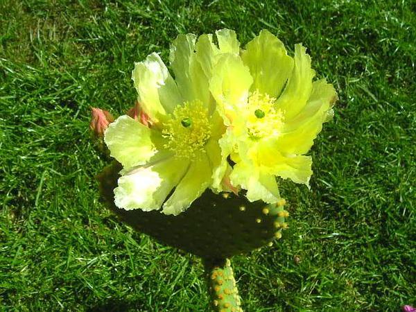 Angel's-Wings (Opuntia Microdasys) https://www.sagebud.com/angels-wings-opuntia-microdasys