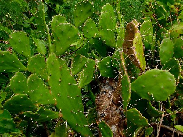 Common Pricklypear (Opuntia Monacantha) https://www.sagebud.com/common-pricklypear-opuntia-monacantha