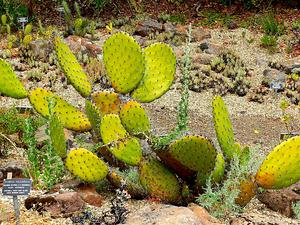 Chaparral Pricklypear