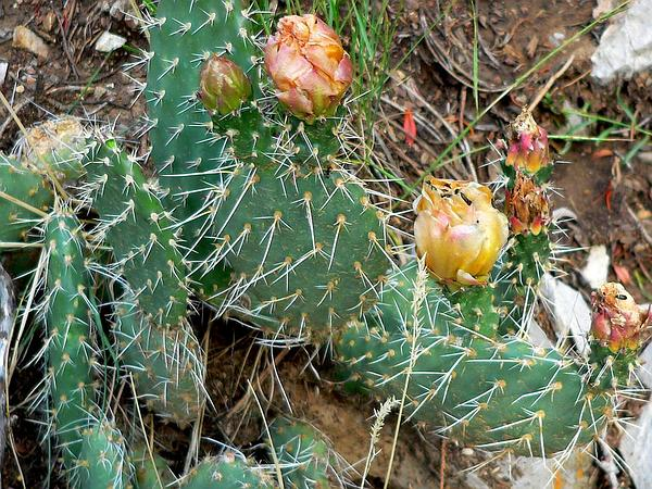 Plains Pricklypear (Opuntia Polyacantha) https://www.sagebud.com/plains-pricklypear-opuntia-polyacantha