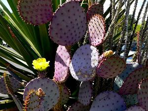 Santa Rita Pricklypear