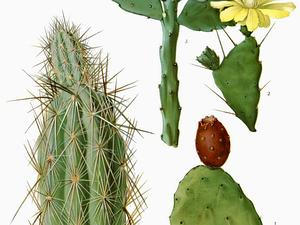 Woollyjoint Pricklypear