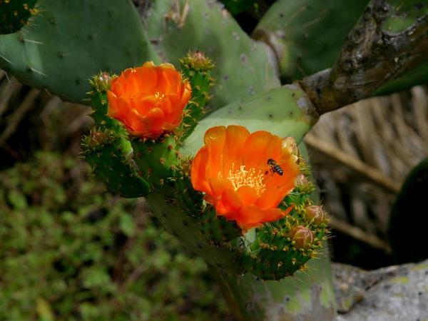 Pricklypear (Opuntia) https://www.sagebud.com/pricklypear-opuntia