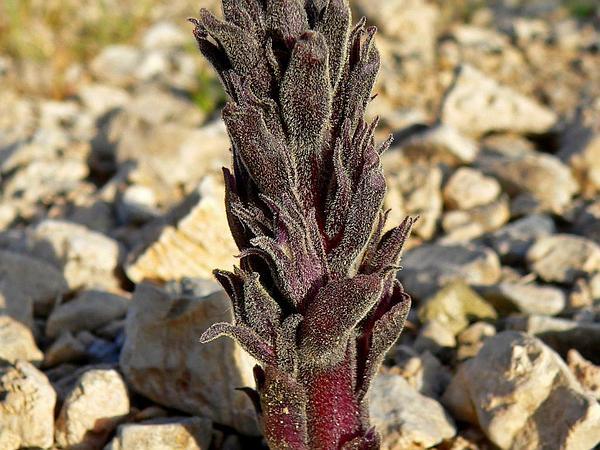 Desert Broomrape (Orobanche Cooperi) https://www.sagebud.com/desert-broomrape-orobanche-cooperi