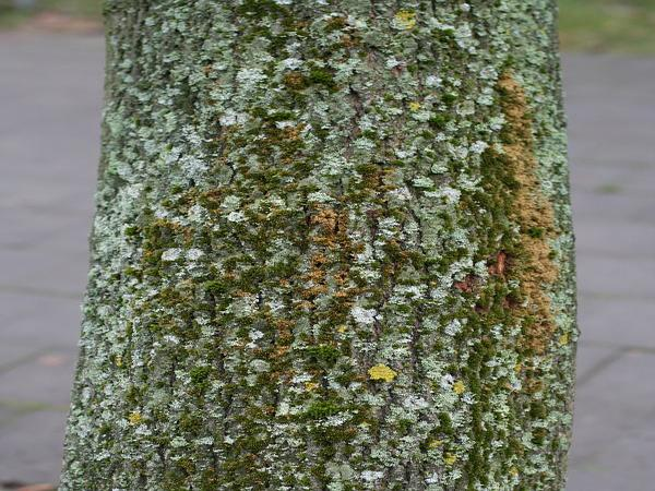 Orthotrichum Moss (Orthotrichum Diaphanum) https://www.sagebud.com/orthotrichum-moss-orthotrichum-diaphanum