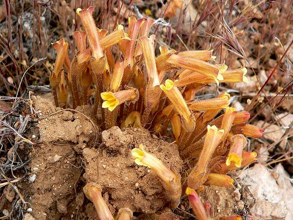 Clustered Broomrape (Orobanche Fasciculata) https://www.sagebud.com/clustered-broomrape-orobanche-fasciculata/