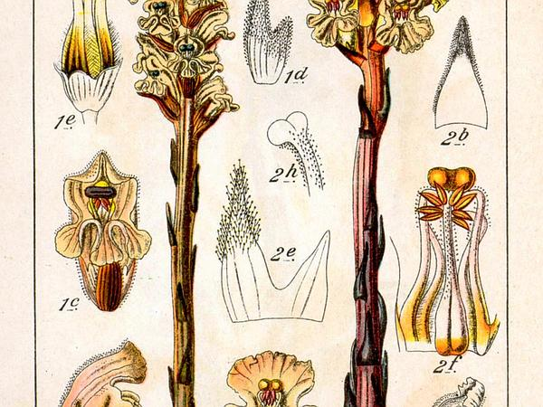 Ivy Broomrape (Orobanche Hederae) https://www.sagebud.com/ivy-broomrape-orobanche-hederae