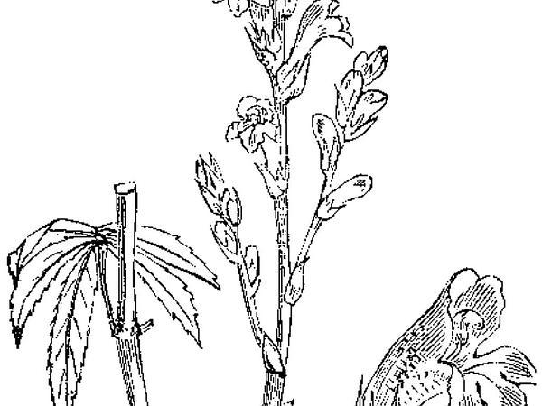 Hemp Broomrape (Orobanche Ramosa) https://www.sagebud.com/hemp-broomrape-orobanche-ramosa