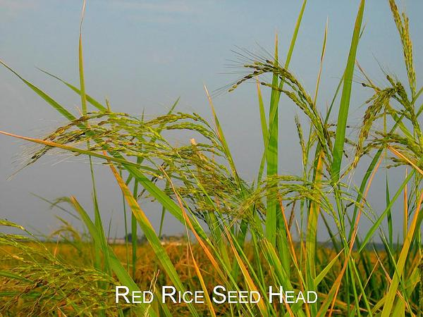 Rice (Oryza Sativa) https://www.sagebud.com/rice-oryza-sativa