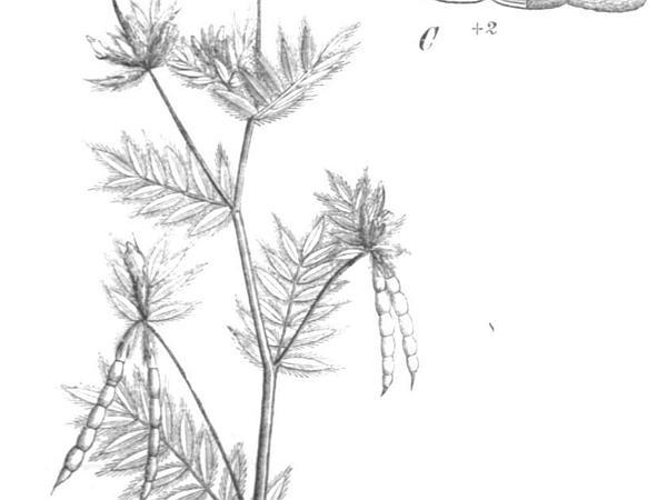 Common Bird's-Foot (Ornithopus Sativus) https://www.sagebud.com/common-birds-foot-ornithopus-sativus