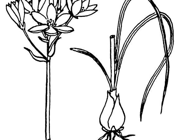Sleepydick (Ornithogalum Umbellatum) https://www.sagebud.com/sleepydick-ornithogalum-umbellatum